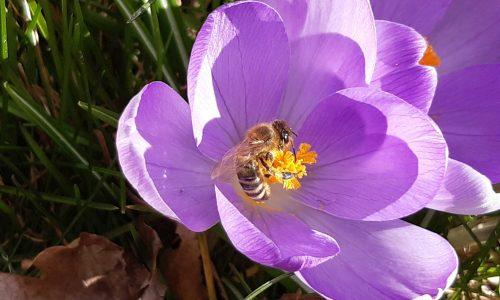 Biene Krokus