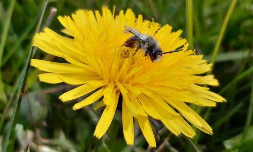 Biene Löwenzahn komp