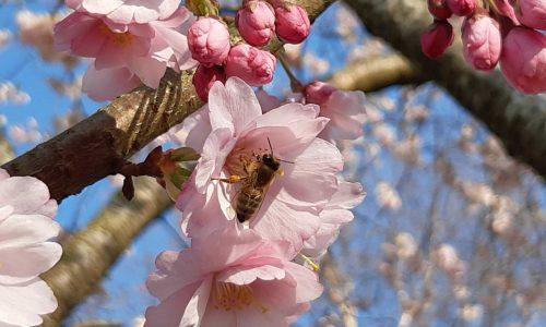 Biene auf Zierkirsche II komp